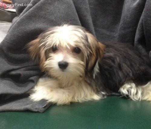 Morkie Pictures Hu9ehqw8a1r Morkie Puppies Morkie Puppies