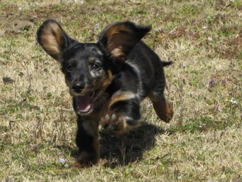 We Are A Small Breeder On 60 Acres Located In Beautiful Nw Arkansas All Our Dogs Are Akc Reg We Concentr Dachshund Puppies For Sale Akc Dachshund Puppies