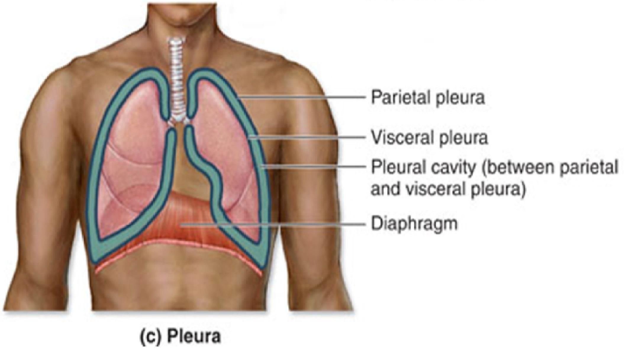 visceral pleura | Planes, Sections, and Cavities | study stuff ...