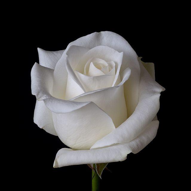 White Rose Beautiful Rose Flowers White Roses Beautiful Roses Garden wallpaper beautiful white roses