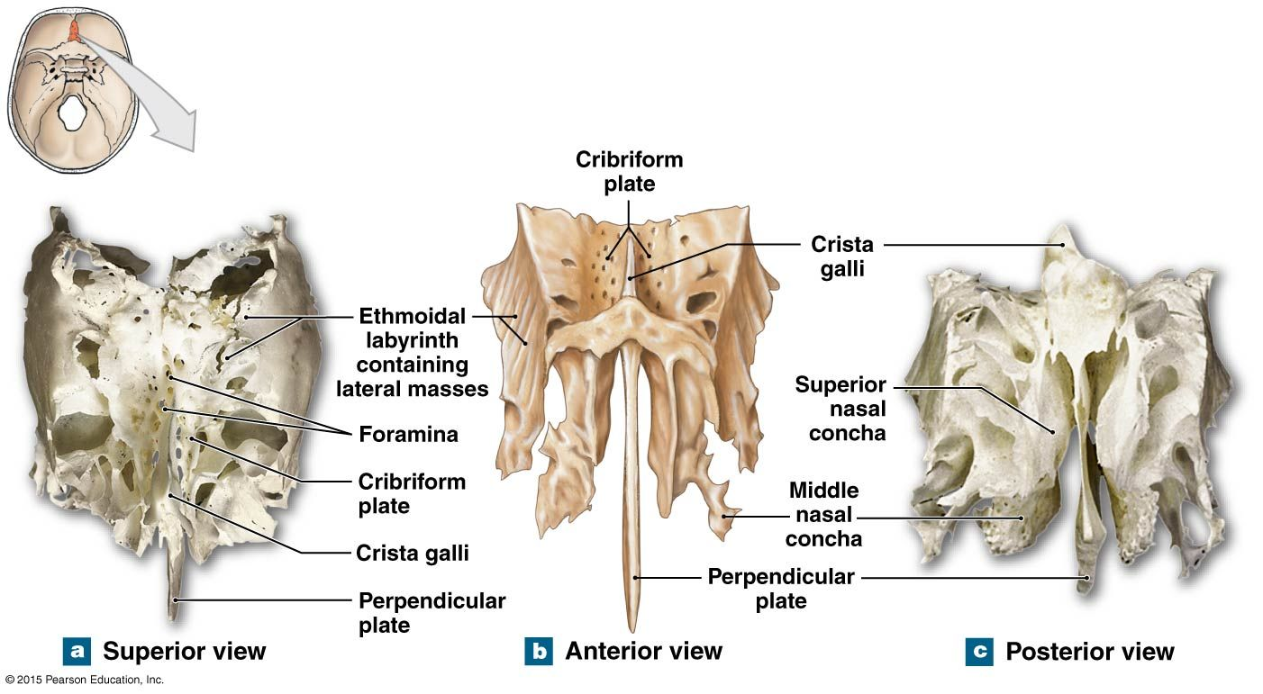 Figure Showing The Structure Of The Ethmoid Bone