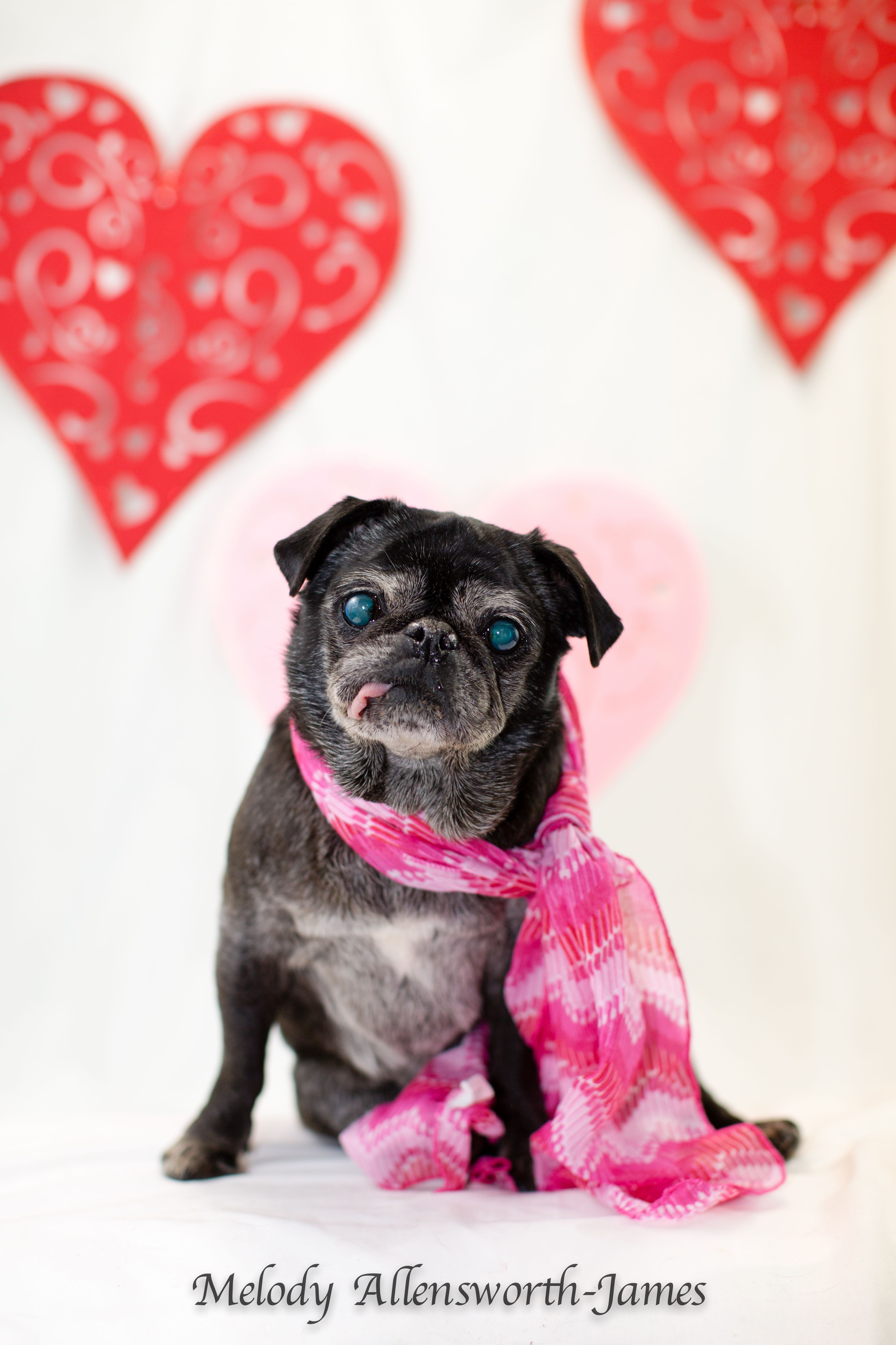 Pug Dog For Adoption In North Little Rock Ar Adn 816342 On