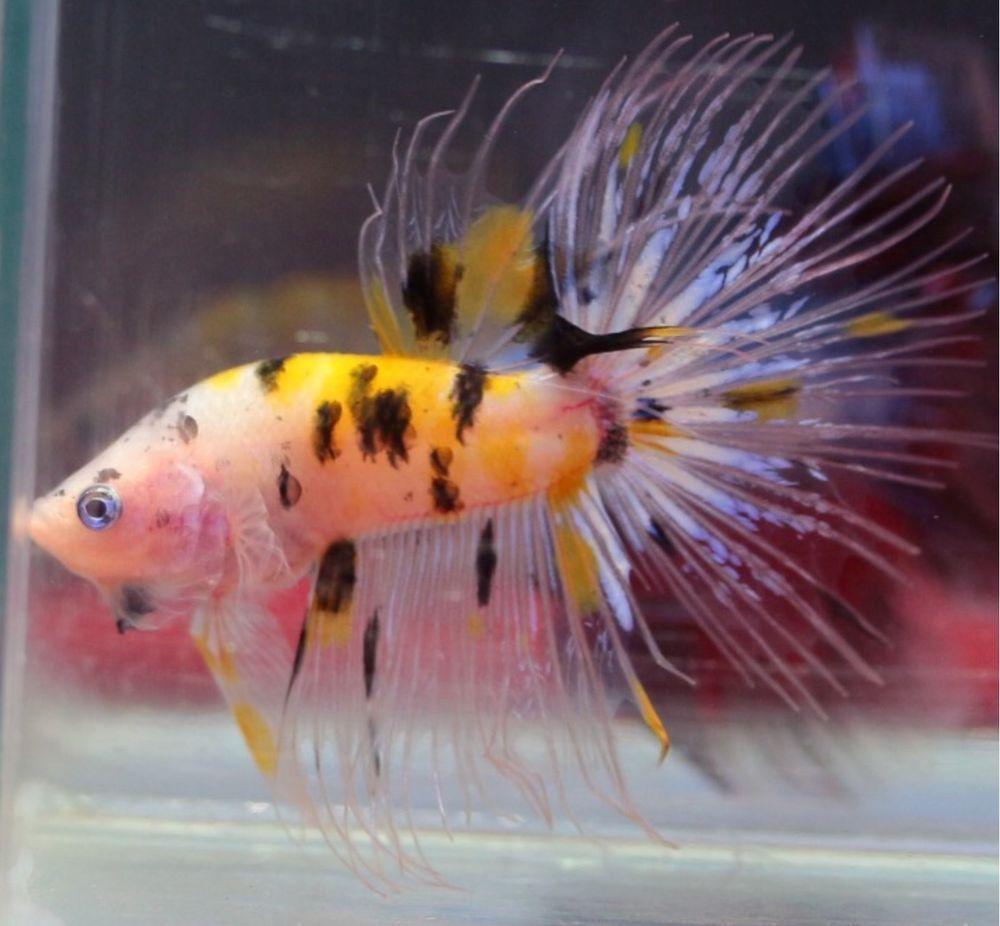 Male tiger yellow koi crown tail halfmoon betta top and for Ebay betta fish
