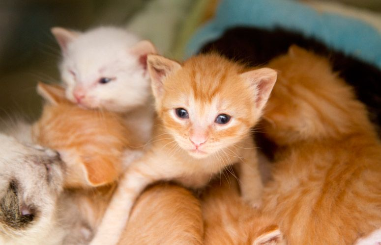 How to care for orphaned kittens: Feeding and weaning motherless kittens. Part four of our four-part series on caring for kittens without a mother