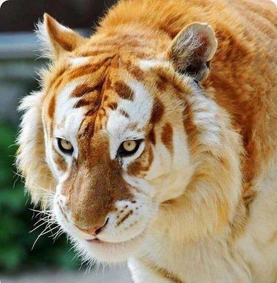 Extremely Rare Golden Tiger ♥ (mit Bildern) Seltene