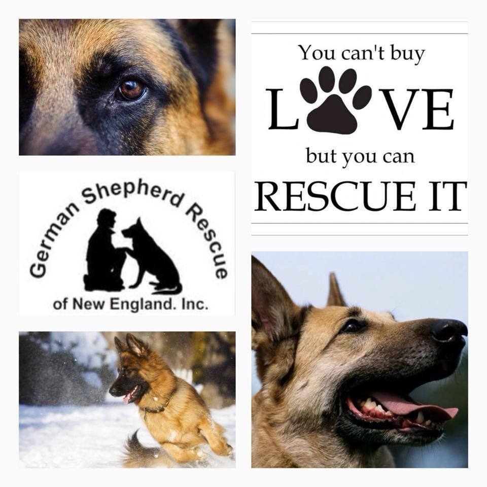German Shepherd Rescue Of New England Inc German Shepherd Rescue