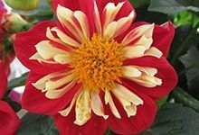 #Dahlia Starsister® Scarlet and Yellow. For perennial gardening tips, visit us at: http://www.sheridannurseries.com/garden_tips/general_gardening/gardening_with_perennial_flowers