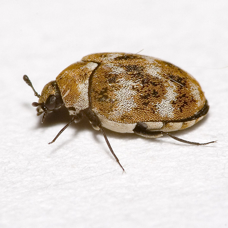 What Attracts Bed Bugs To Your Home? A1 Able Pest Doc