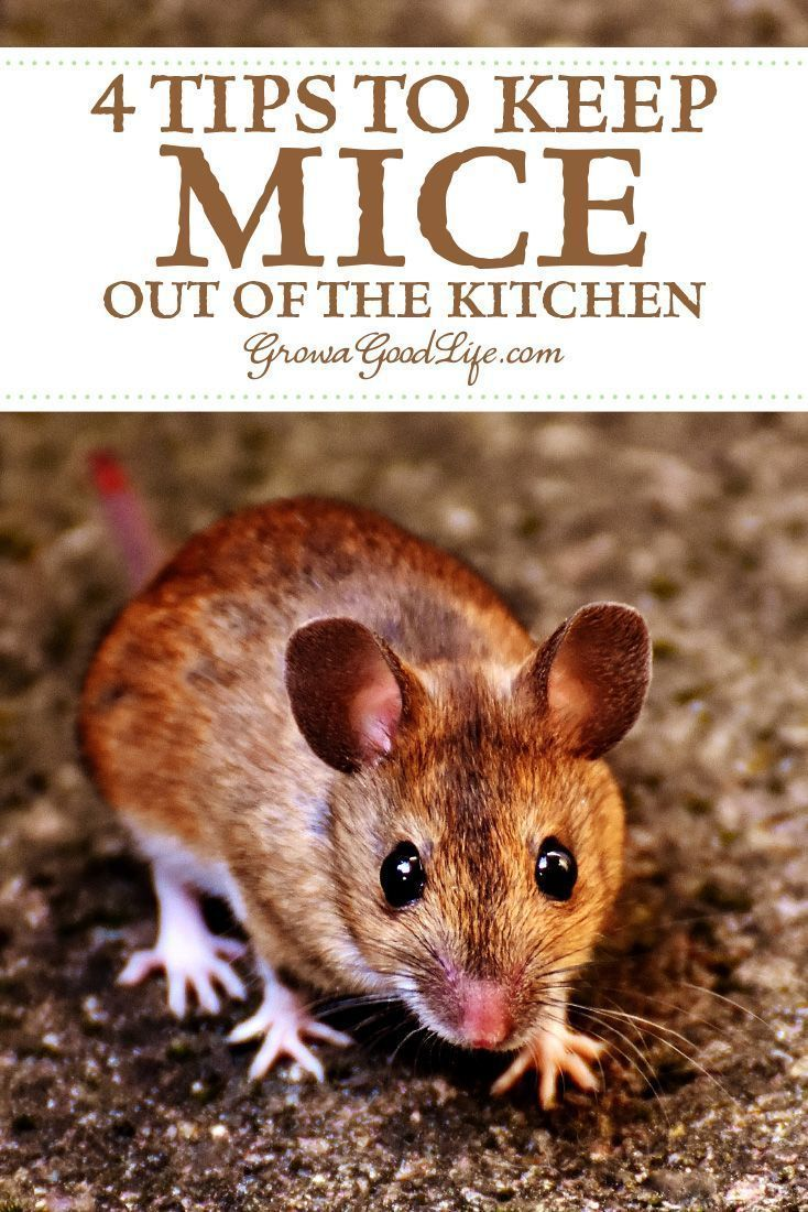 4 Tips To Keep Mice Out Of Your Kitchen Kitchen Mouse Homestead Kitchen Termites Diy