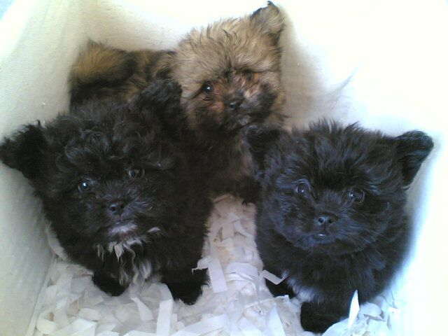 Year Ago For Sale Dogs Shih Tzu Hemel Hempstead Powerballforlife