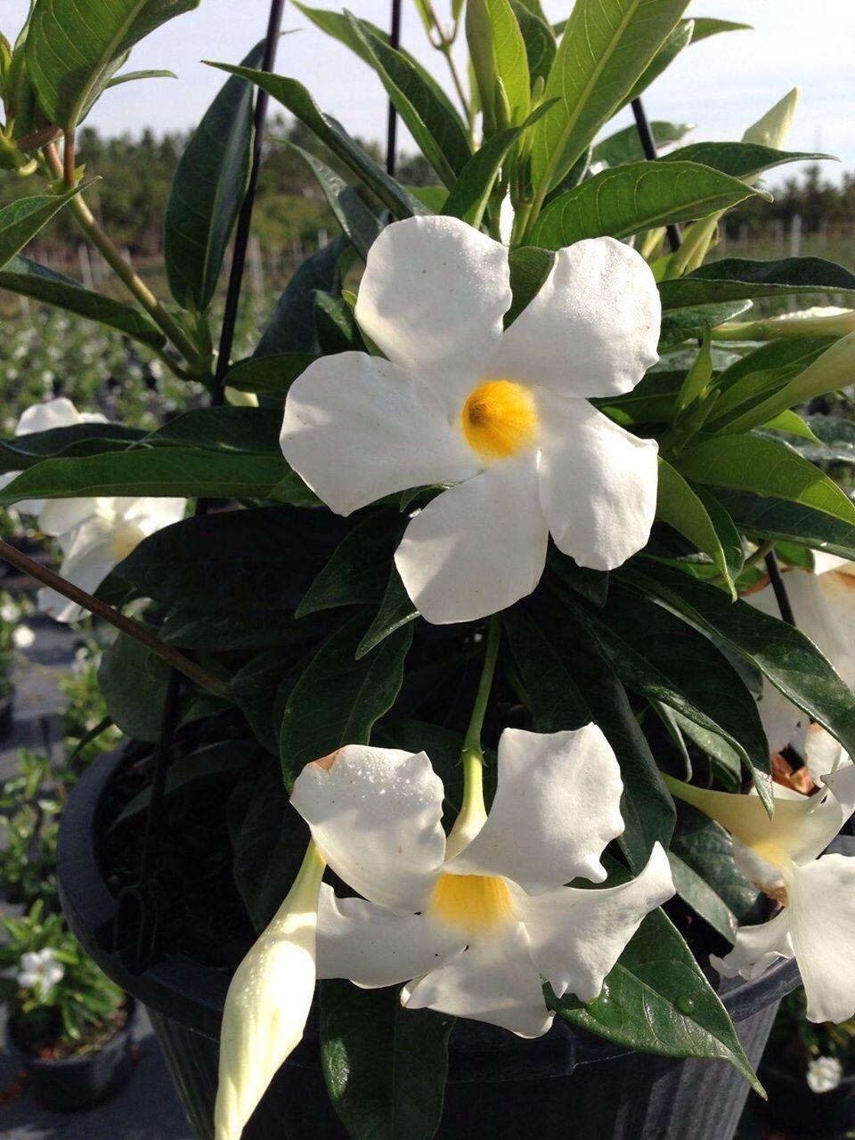 Mandevilla white with yellow center plants flower