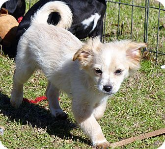 Poodle Toy Or Tea Cup Chihuahua Mix Puppy For Adoption In Anderson South Carolina Dean Chihuahua Mix Puppies Puppy Adoption Toy Poodle