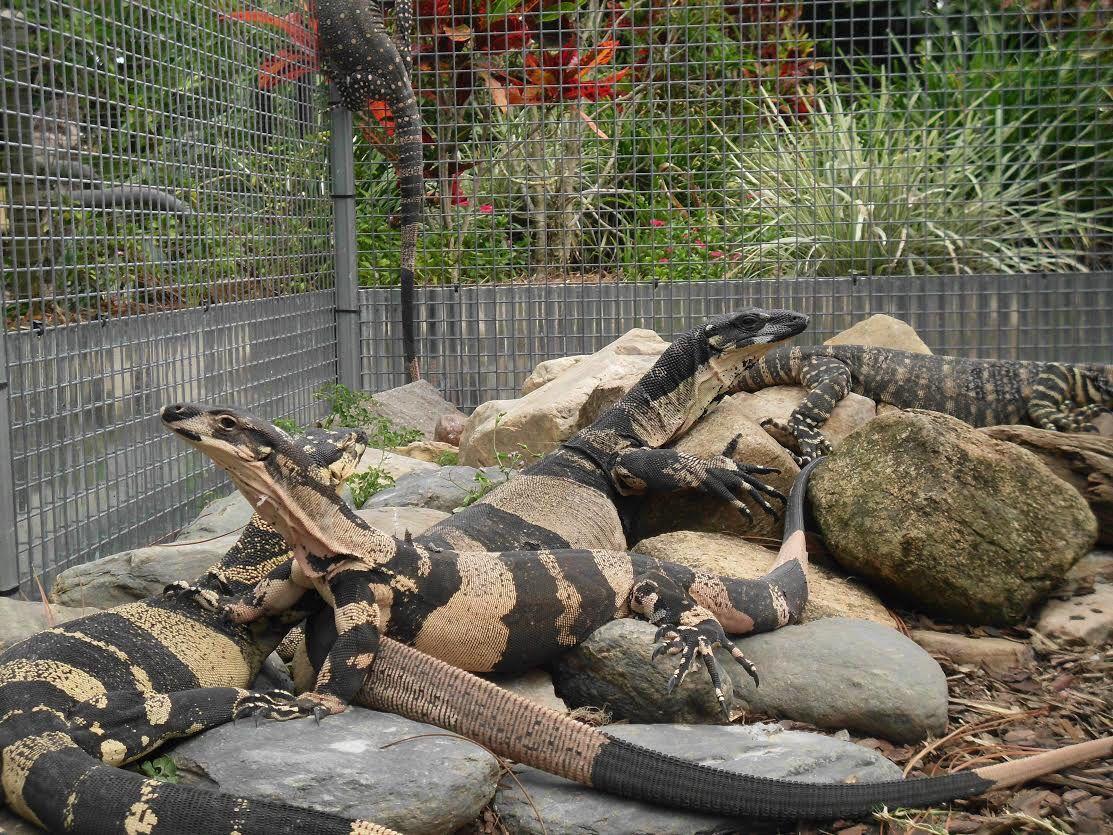 pin by chris durward on australian monitor lizards pinterest