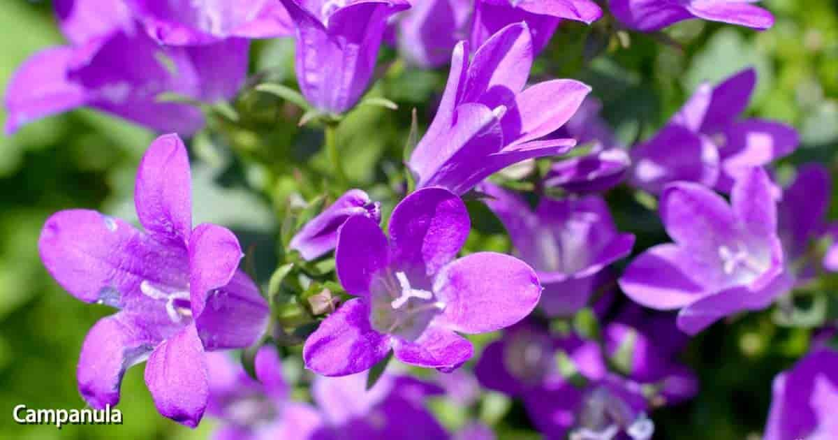 Five Things Nobody Told You About Bellflower Flower Room Bellflower Flower Room In 2020 Campanula Flowers Campanula Plant Flower Care