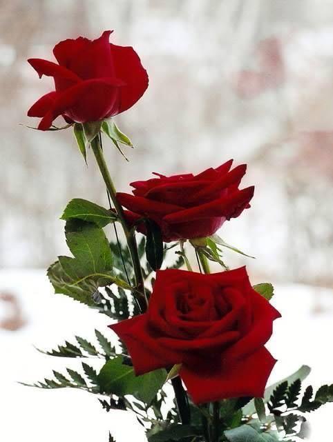 10628298 813174705371409 5403079287700695751 jpeg for Foto di rose bellissime