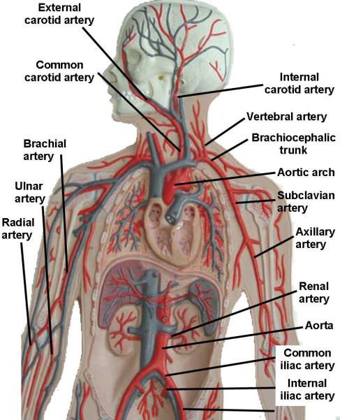 Image Result For Human Arteries And Veins Labeled Model Bio