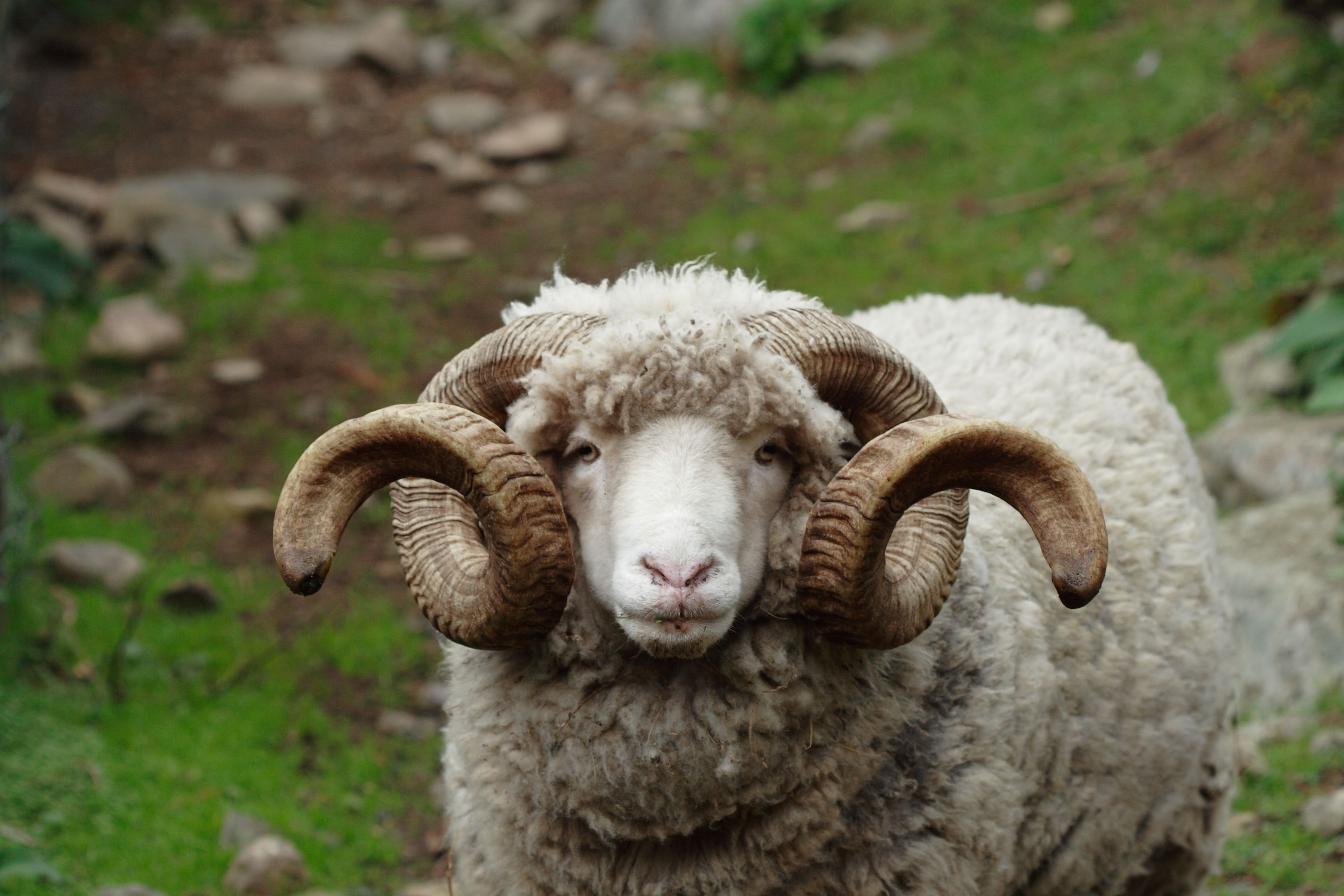 The Arapawa Sheep is a breed of feral sheep found