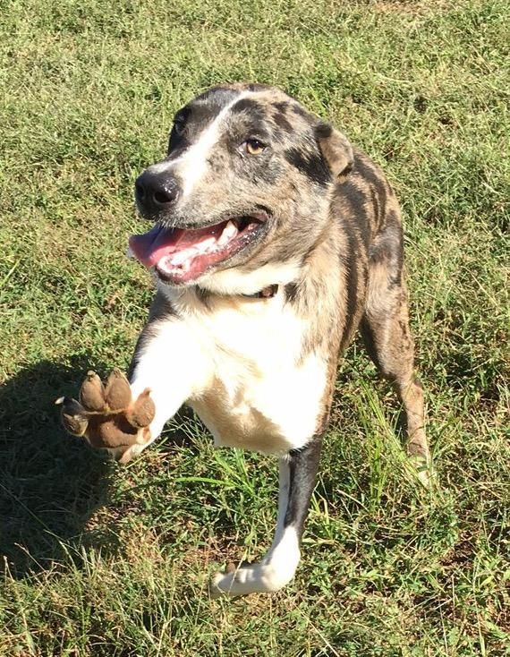 Adopt Caboodle On Leopard Dog Dog Mixes Dogs