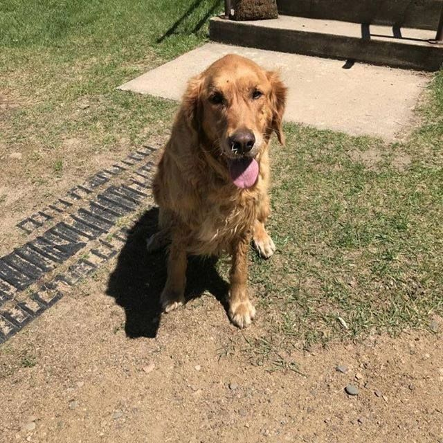 Is This Your Dog?Pine RiverGolden RetrieverMale Date