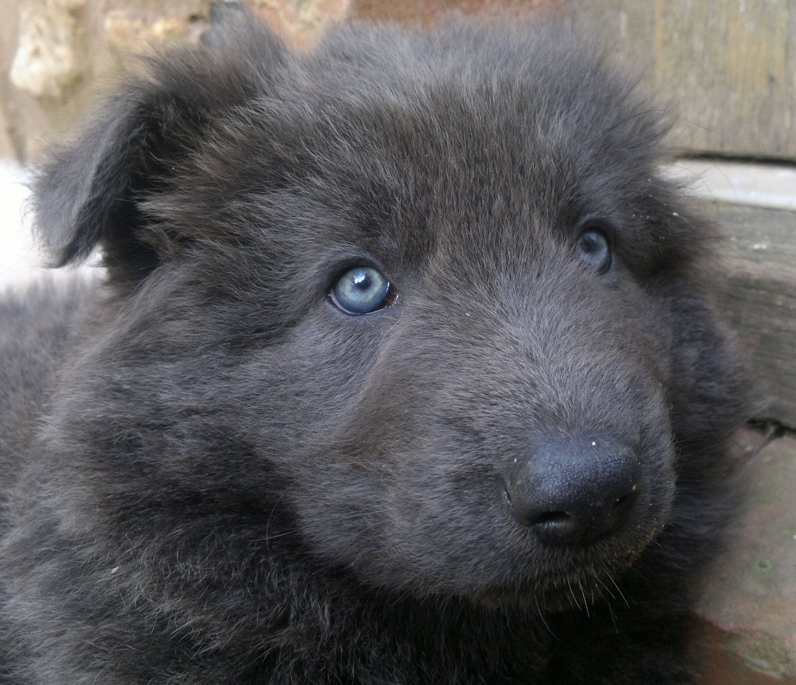 My Solid Blue German Shepherd Puppy At About 6 Weeks Old Blue