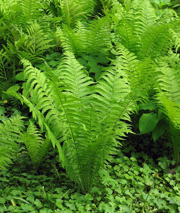 Japanese Painted Fern Hardy Perennial Plant Athyrium 'Ghost' 1 x 9cm Potted T&M Plants & Seedlings Plants, Seeds & Bulbs