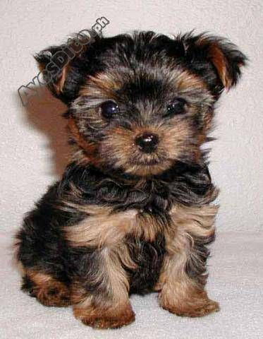 The Cutest Puppies Are At Ayosdito Ph Have Cute Puppies To Share Sell Postsharewin Gadgets Dog Breeds That Dont Shed Hypoallergenic Dog Breed Yorkie Puppy