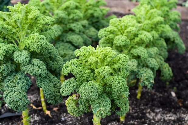 Learn How To Grow Kale In The Spring Garden Don T Miss These Kale