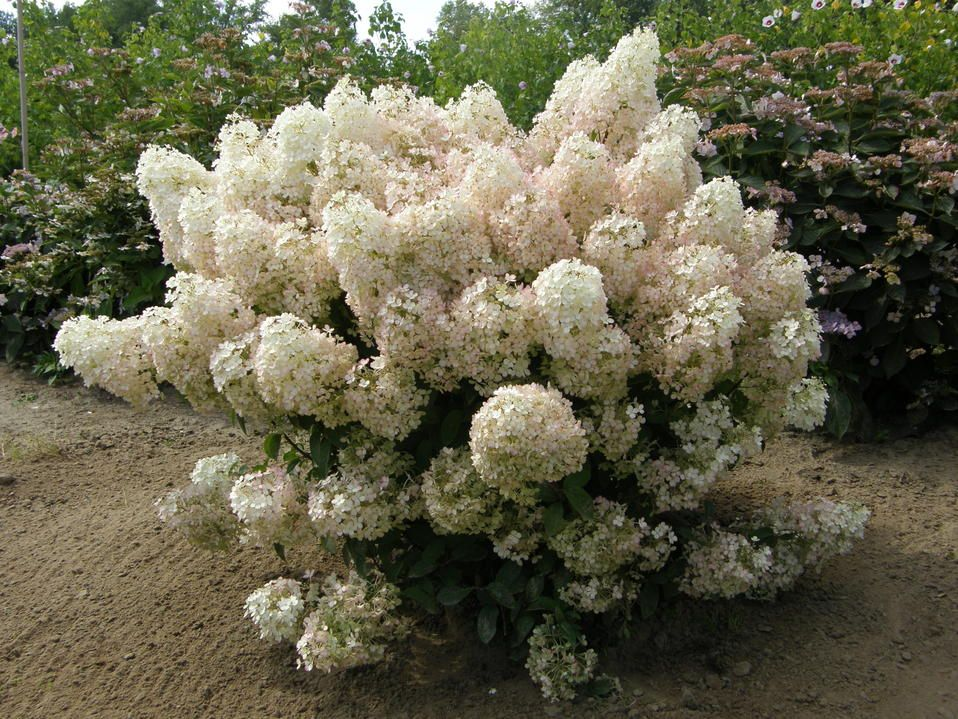Hydrangea Glossary Learn To Talk The Language Of Hydrangeas And Find Out What All Of The Different Terms Used Hardy Hydrangea Hydrangea Garden Bobo Hydrangea