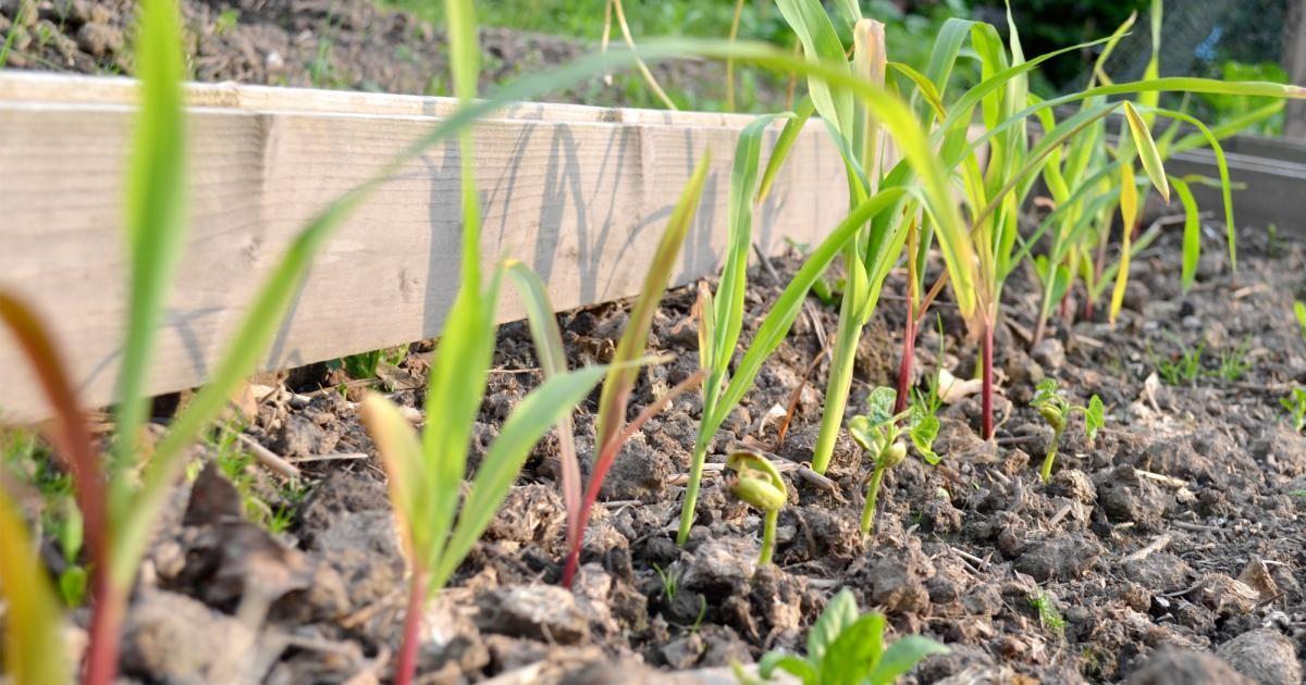 Gastbeitrag Drei Schwestern Ein Milpa Beet Im Garten Garten Mischkultur Garten Ideen