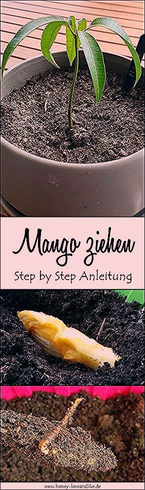 Photo of Mango ziehen leicht gemacht mit einfacher Step by Step Anleitung
