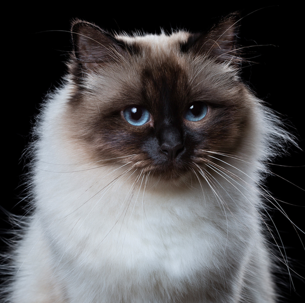 Birman Cat   Here Are All The Cat Breeds You Never Knew Existed