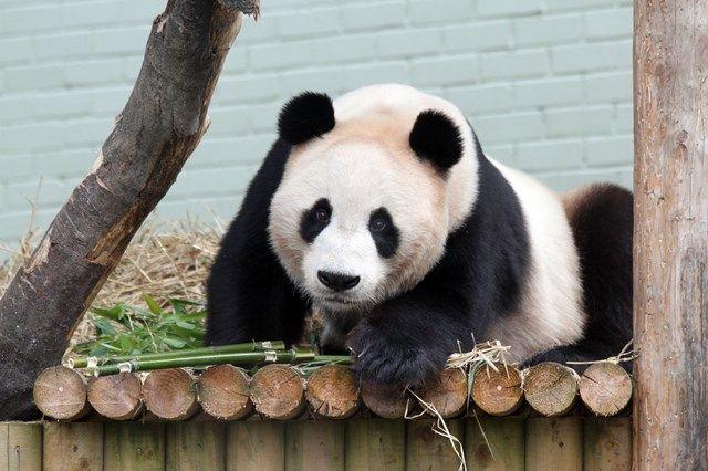 Photo Rzss Edinburgh Zoo Edinburgh Zoo Panda Bear Zoo