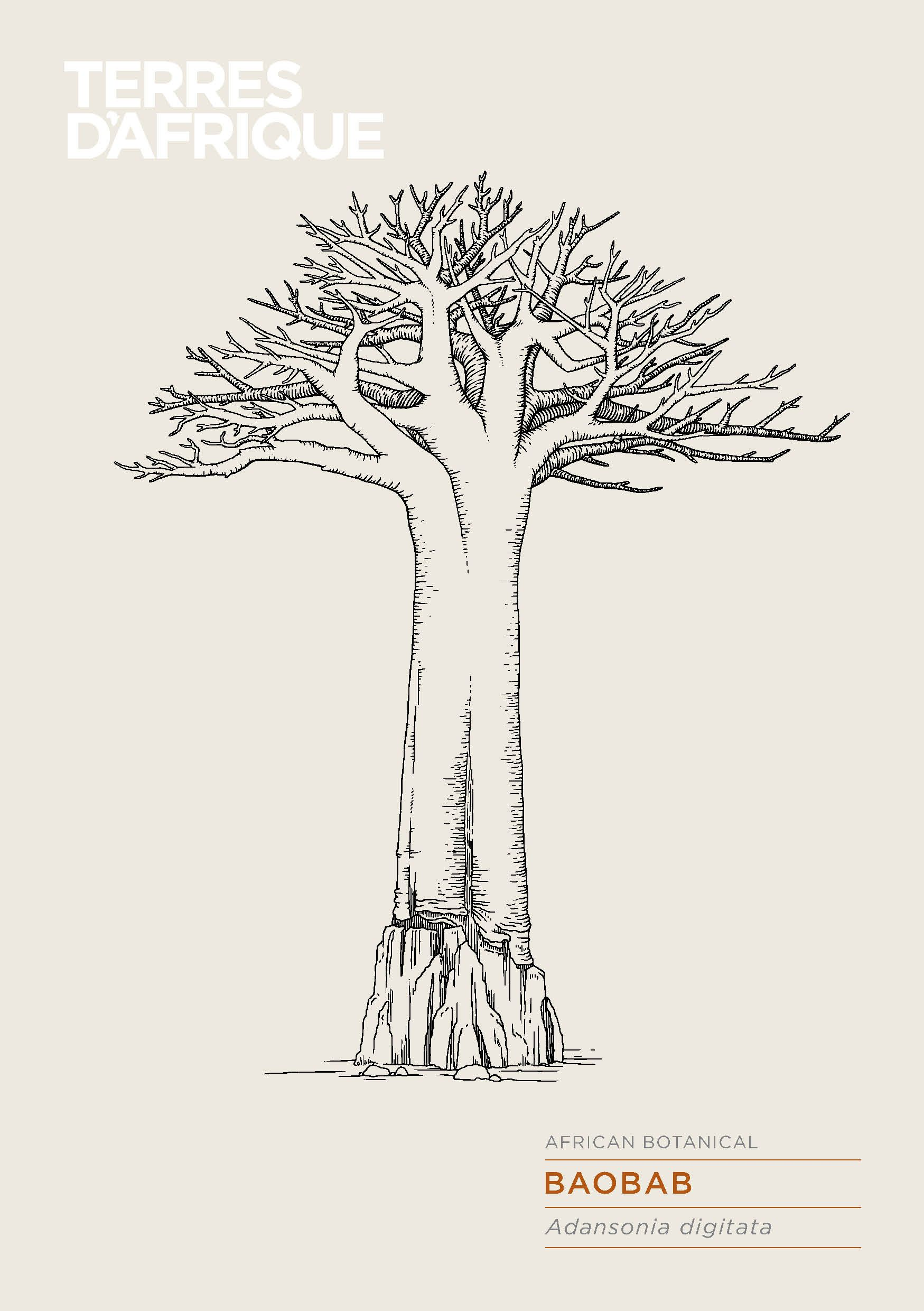 Terres D Afrique African Botanical Baobab Tree Drawing Baobab