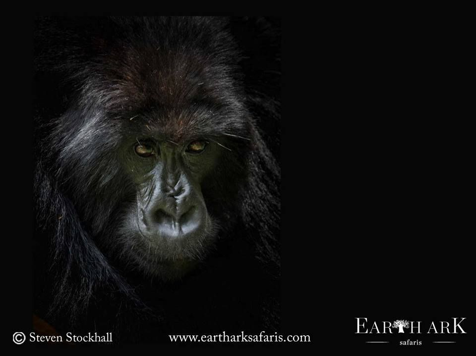 2f552dc6dd2dc Portrait of an Endangered Mountain Gorilla in Bwindi Impenetrable Forest in  Uganda by Steven Stockhall