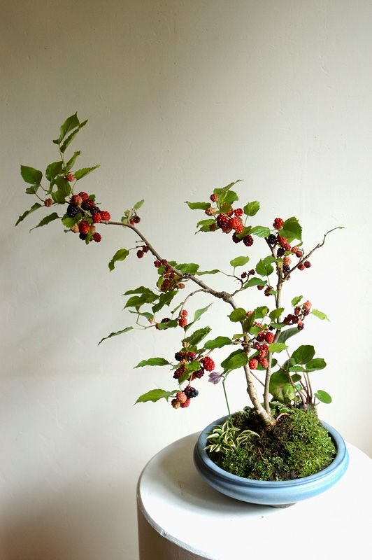 Mulberry Bonsai With The Wild Element Of A Wabi Kusa