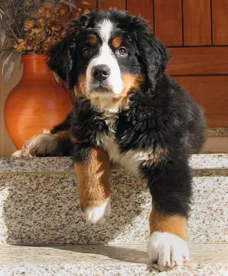 Bernese Mountain Dog pup