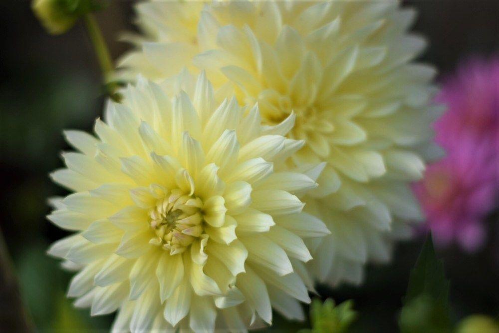 160 Dahlias Ideas Dahlia Dahlia Flower Plants