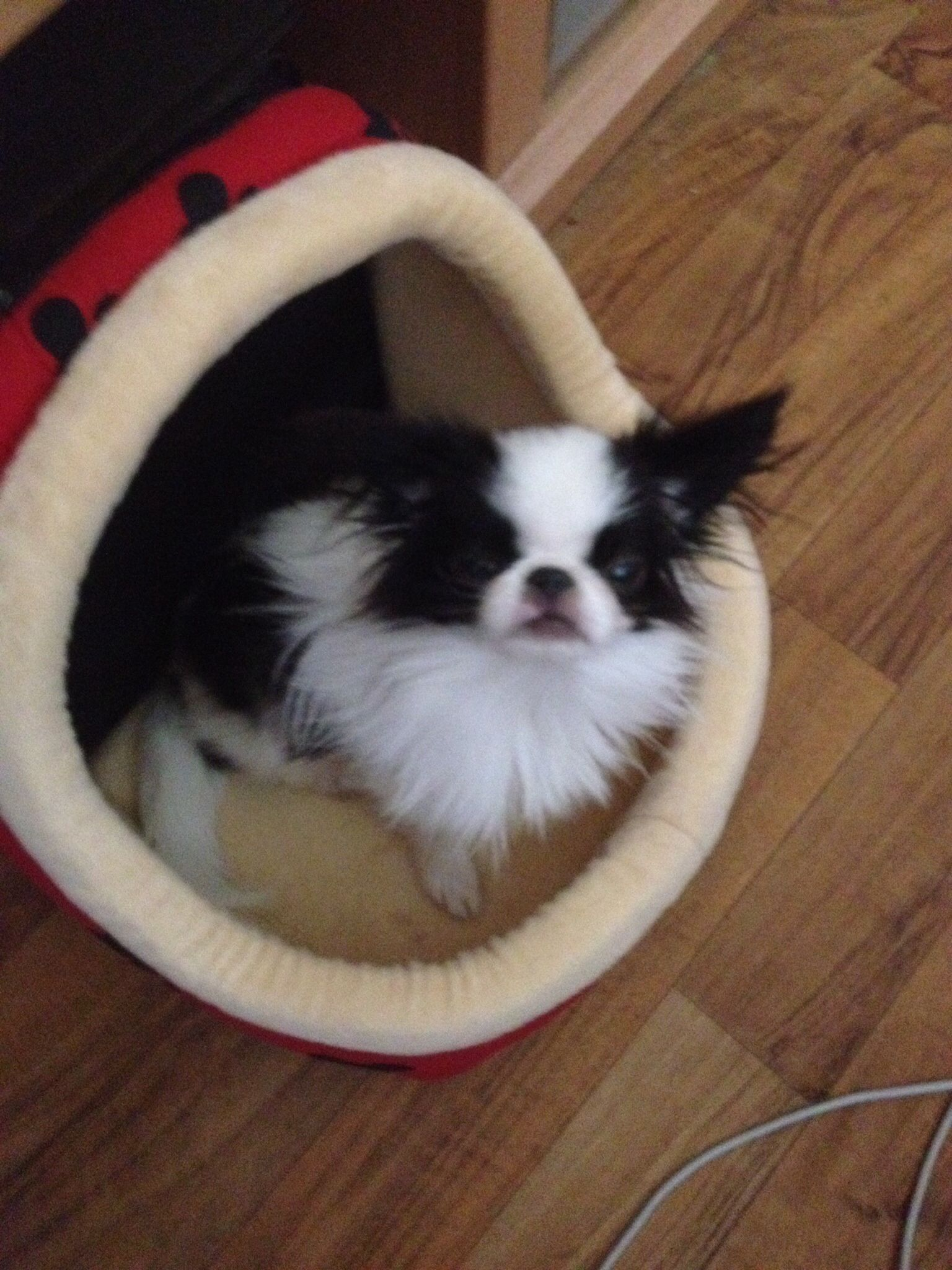 Look mama I am a bat! Japanese chin dog, Japanese chin