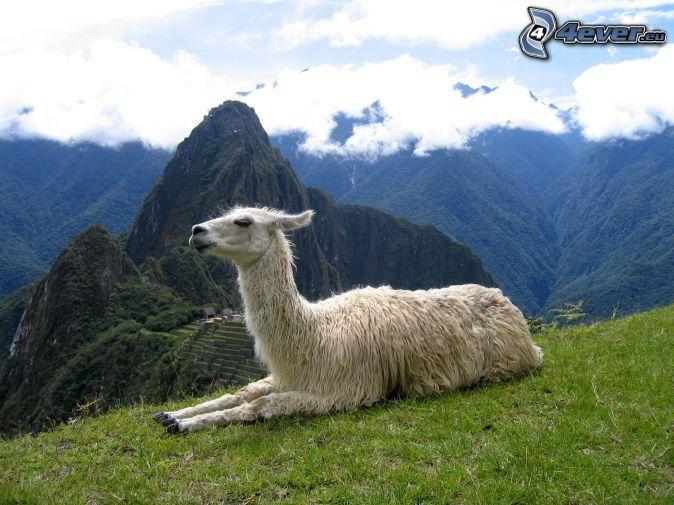 Llama, en las montañaas de Machu Piccu ANIMALES