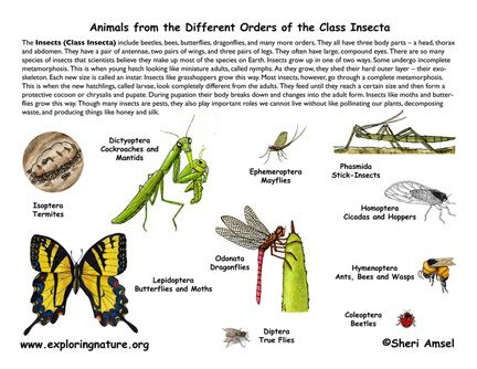 Classification of Living Things Chart | Orders of Insects Poster ...
