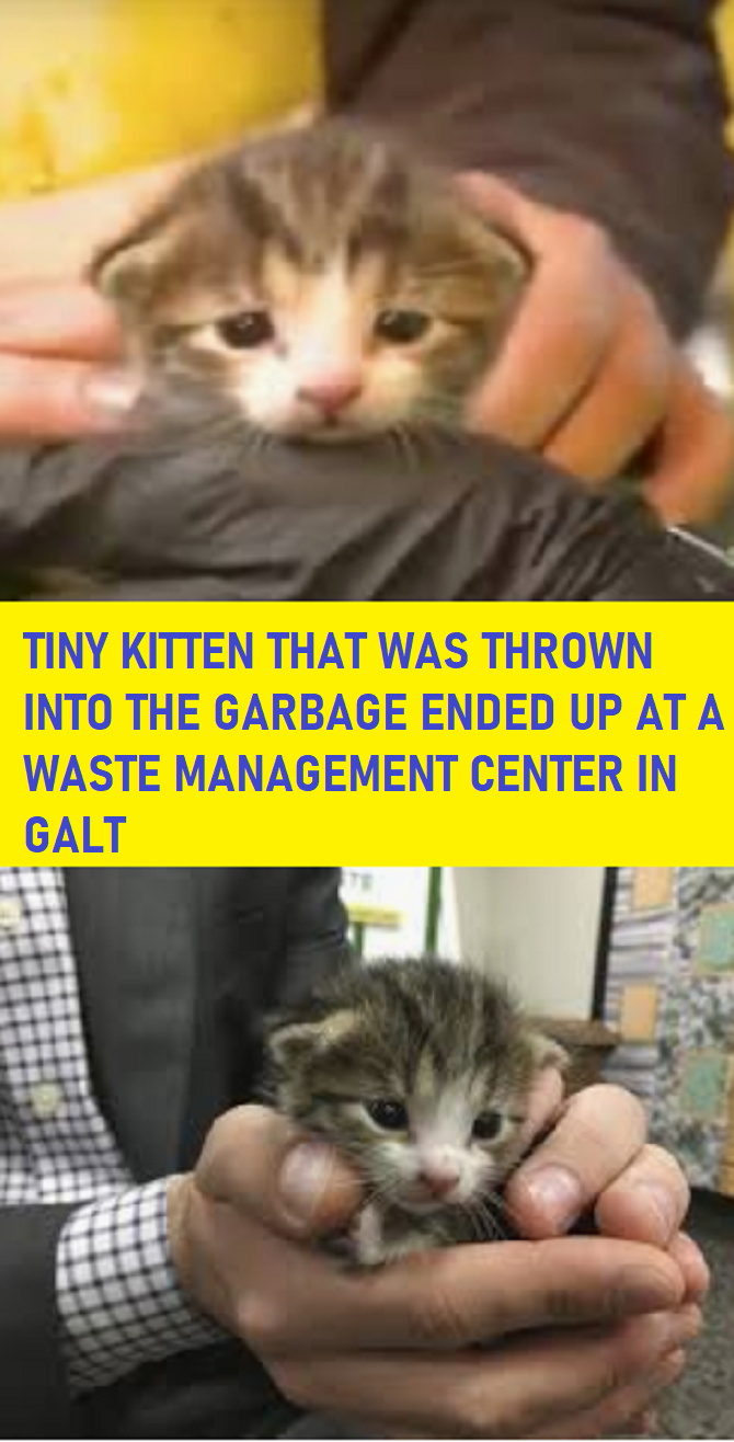 Tiny Kitten That Was Thrown Into The Garbage Ended Up At A Waste Management Center In Galt Tiny Kitten Kitten Galt