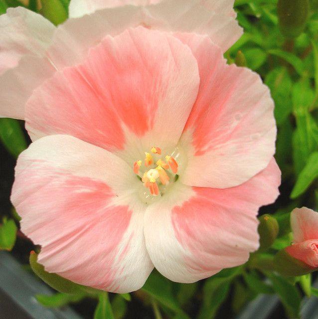 Godetia Flower Identification Peach Flowers Amazing Flowers