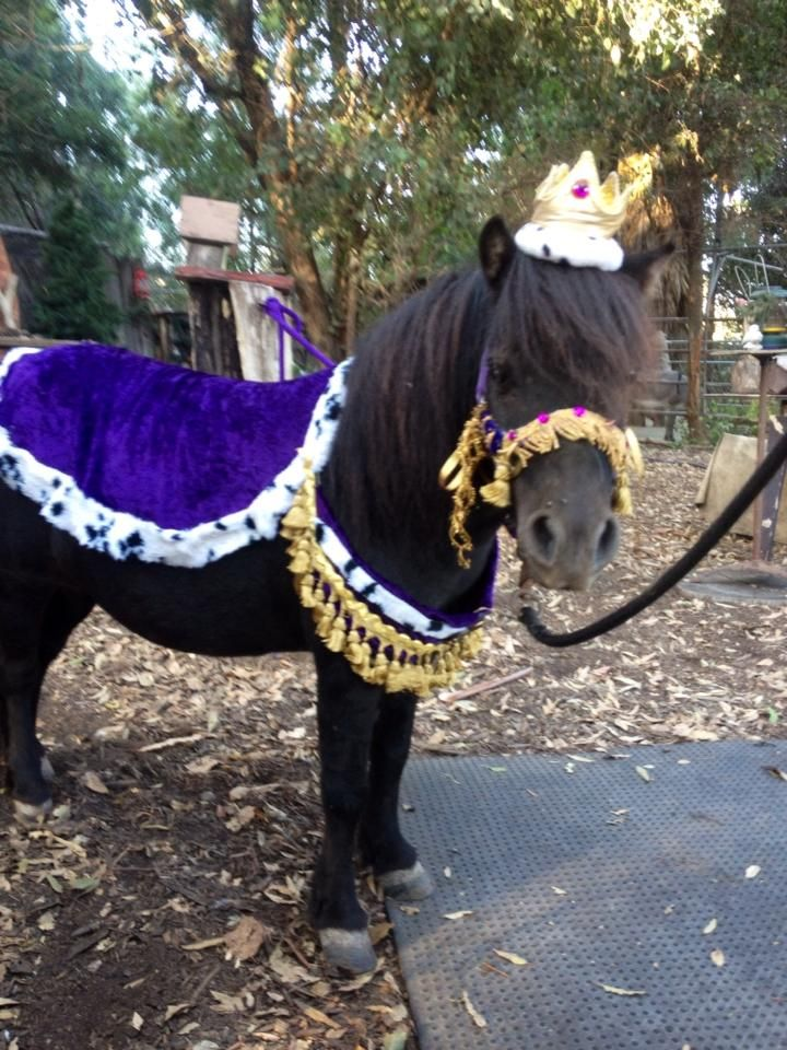 Miniature horse rides fit for a king!