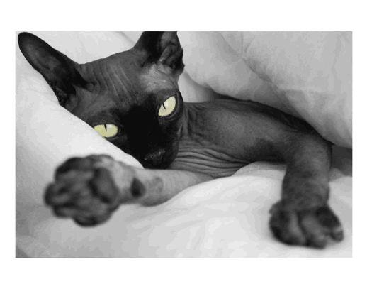 black cat Sphynx cat, Black hairless cat, Hairless cat