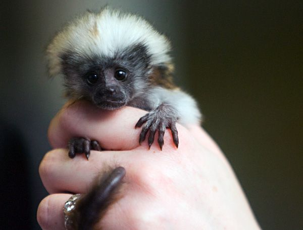 Boy oh Boise: Baby Cotton-Top Tamarin! | Weird animals, Cute monkey, Animals