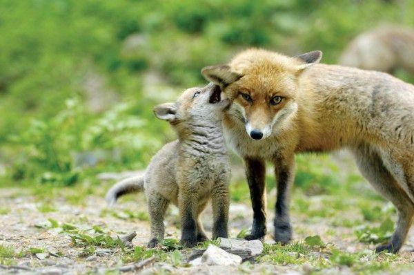 Fox & puppy
