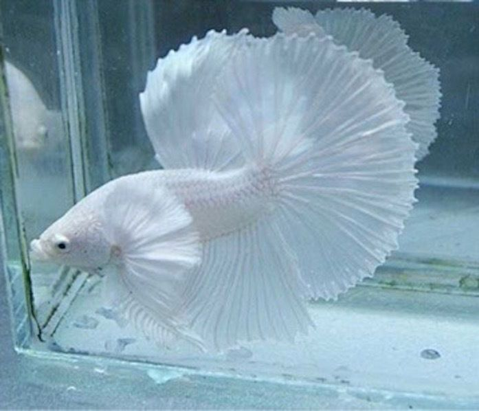 White Dumbo Halfmoon Male Betta Thai Import | Beautiful ...