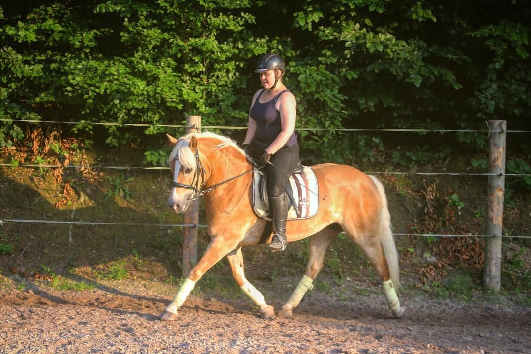 Edelbluthaflinger Pferde, Holsteiner, Pony