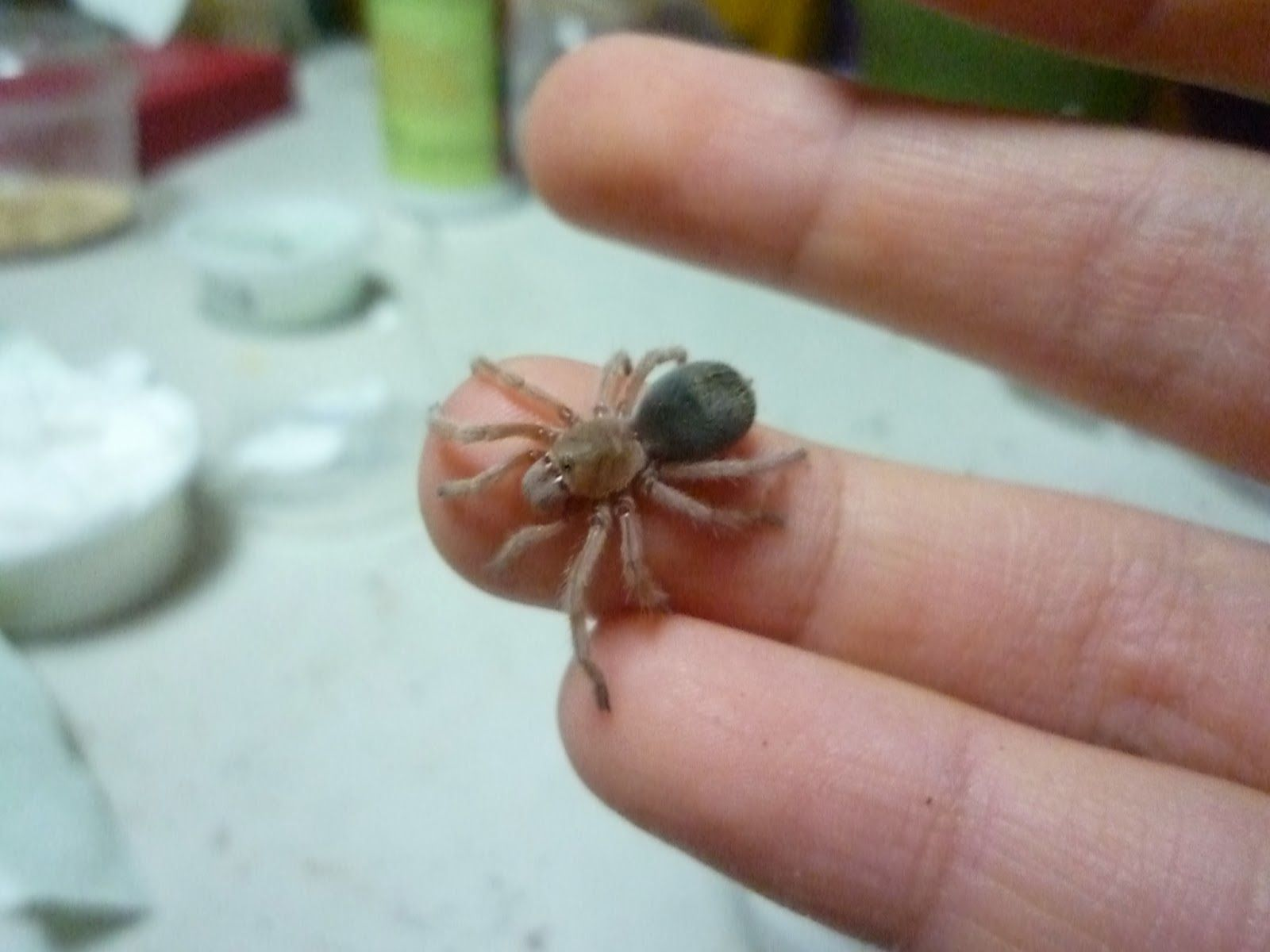 Hjs Pet Blog About Chilean Rose Hair Tarantulas Pets Pinterest