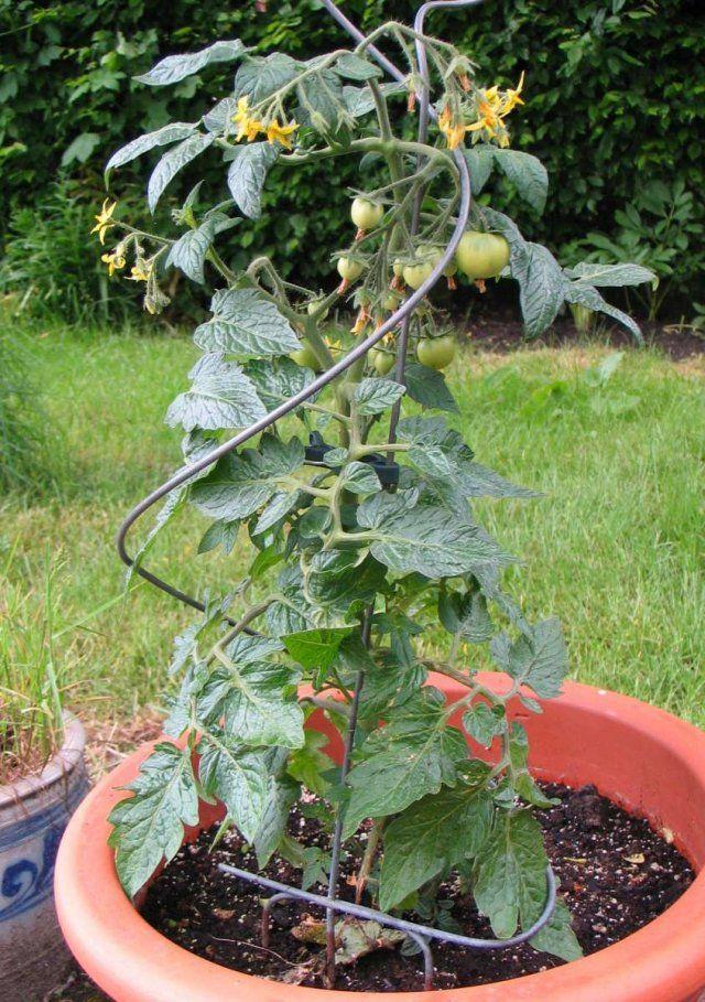 Jitomate hortalizas pinterest cerezas for 5 cultivos faciles para empezar un huerto en casa